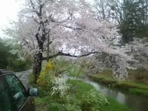 桜に3枚プロペラは良く似合います?